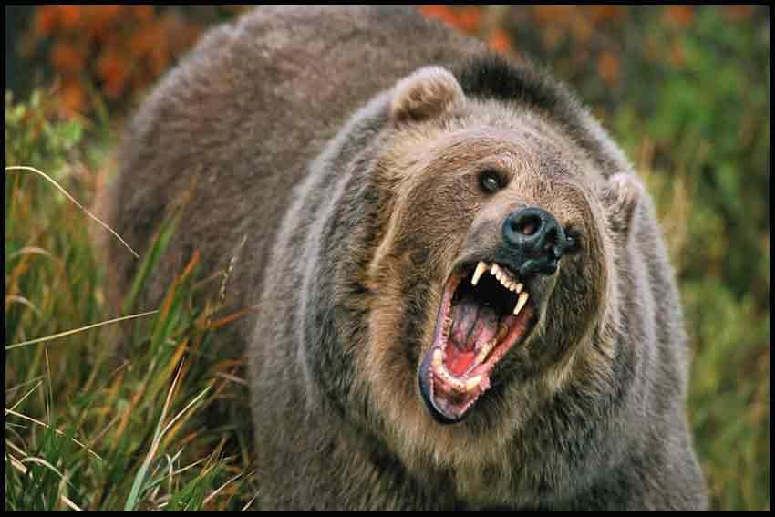 دانلود کلیپ کوتاه و جدید حمله خرس به انسان Bear Attack 2013