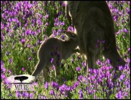 PBS.Nature.2012.Kangaroo.www.download.ir