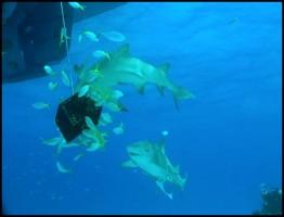 Sharks Kings of the Ocean1.www.download.ir
