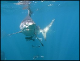wild ocean shark.www.download.ir
