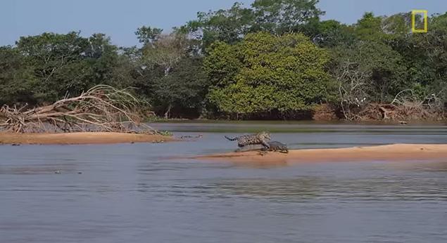 دانلود کلیپ جذاب و دیدنی حمله پلنگ به تمساح 2013