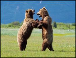 3969065-high_res-great-bear-steakout.jpg