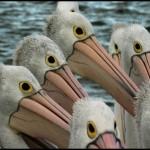 دانلود فیلم مستند 2011 PBS Nature Outback Pelicans