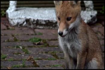 BBC Fox Wars