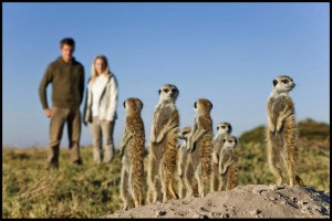 Meerkats Secrets of an Animal Superstar 2013
