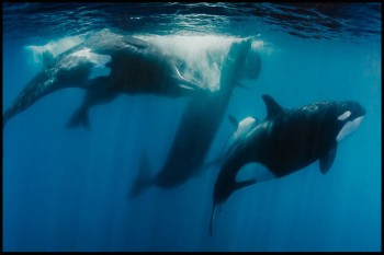 Natural-WorldKiller-Whales-Beneath-the-Surface