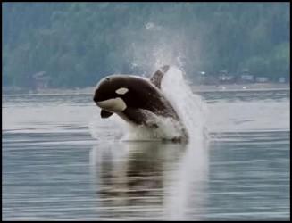 Wild Killer Whale Vs Shark2.download.ir