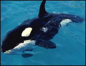Wild Killer Whale Vs Shark3.download.ir