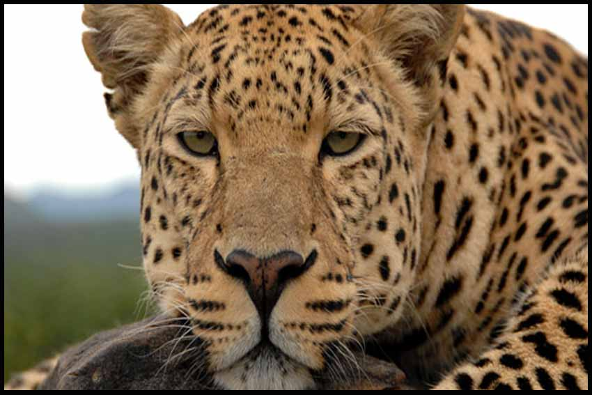 PBS Nature Revealing the Leopard