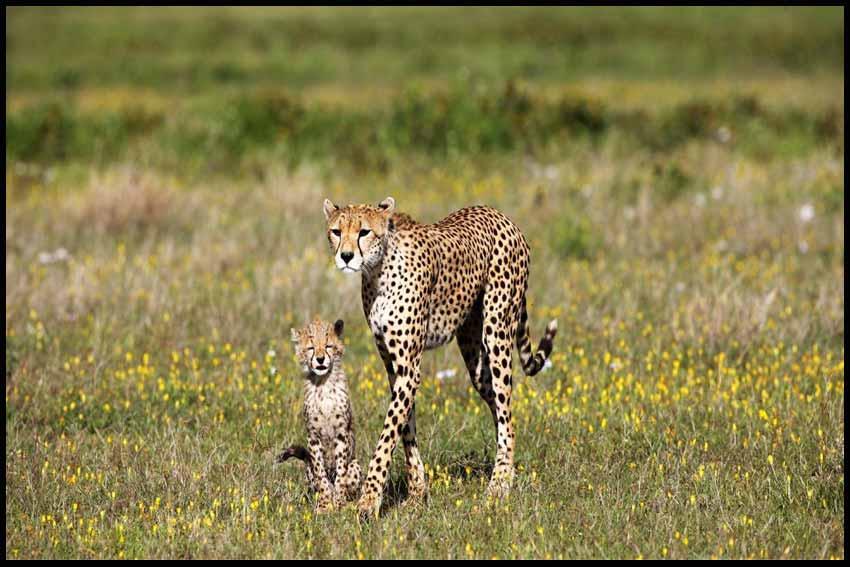 فیلم مستند Cheetah Fatal Instinct 2014