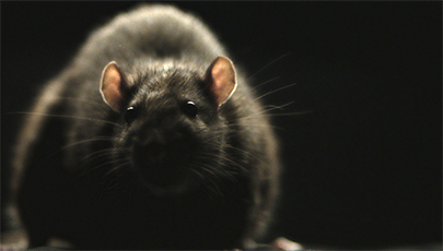 دانلود فیلم مستند Rats 2016 با کیفیت 1080p WEBRip