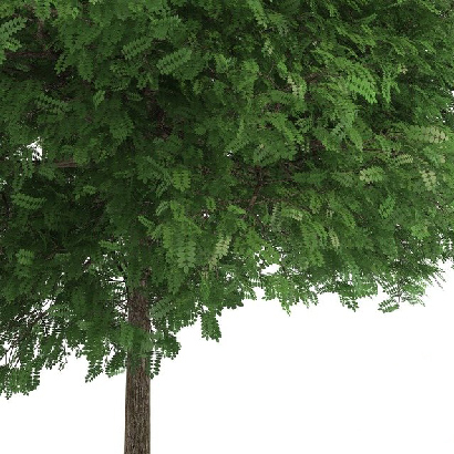 Robinia pseudoacacia Black Locust 3d Model center