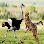 logo_Three.Cheetahs.Vs.Ostrich_download.ir